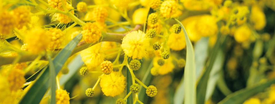 mimosa rose et Marius