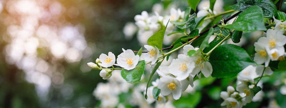 le parfum de jasmin